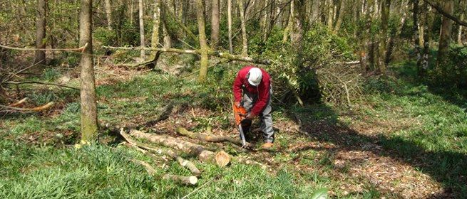 chainsaw small tree felling